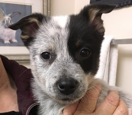 Australian Cattle Dog Dogs for adoption in Seattle, WA, USA