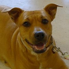 Labrador Retriever Mix Dog For Adoption in Helena, AL, USA