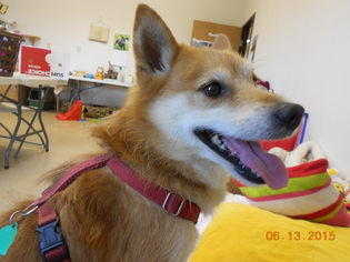 Shiba Inu Mix Dog For Adoption in Wahpeton, ND, USA