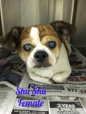 Pug Mix Dog For Adoption in Centreville, VA