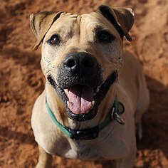 American Pit Bull Terrier-Chinese Shar-Pei Mix Dog For Adoption in Kanab, UT, USA
