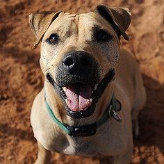American Pit Bull Terrier-Chinese Shar-Pei Mix Dog For Adoption in Kanab, UT