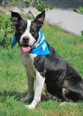 American Bulldog Mix Dog For Adoption in Hull, MA