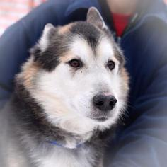 Alaskan Malamute Dog For Adoption in Negaunee, MI