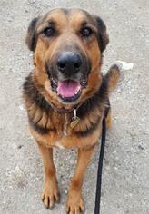 German Shepherd Dog Dog For Adoption in Ventura, CA, USA