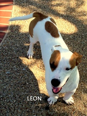Bagle Hound Dog For Adoption in Denton, TX