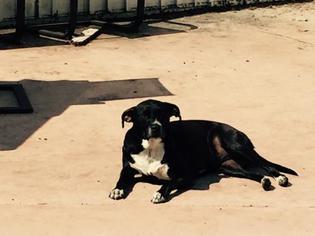 Labrador Retriever Mix Dog For Adoption in west Palm Beach, FL