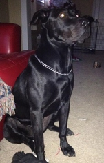 American Staffordshire Terrier-Labrador Retriever Mix Dog For Adoption in Lee's Summit, MO, USA