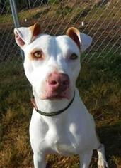 Labrador Retriever Mix Dog For Adoption in Gibbstown, NJ, USA