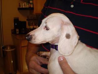 Dachshund Dog For Adoption in Jacksonville, FL