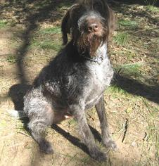 German Wirehaired Pointer Dog For Adoption in Denton, TX, USA