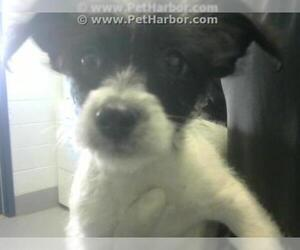 Border Terrier Dogs for adoption in Corpus Christi, TX, USA