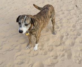 Carolina Dog-Catahoula Leopard Dog Mix Dog For Adoption in San Antonio, TX, USA