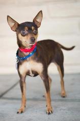 Miniature Pinscher Dog For Adoption in Fresno, CA