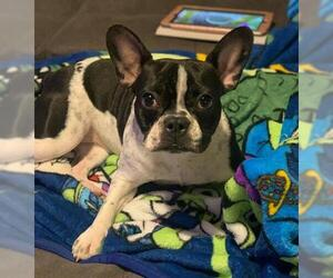 Faux Frenchbo Bulldog Dogs for adoption in Williamson, WV, USA