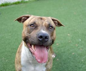 American Pit Bull Terrier-American Staffordshire Terrier Mix Dog For Adoption in Thonotosassa, FL, USA