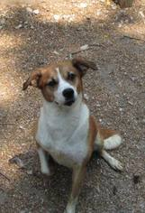 Beagle-Collie Mix Dog For Adoption in Alton, IL