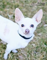 Chihuahua Dog For Adoption in Salt Lake City, UT, USA