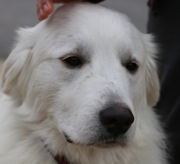 Great Pyrenees Dog For Adoption in Spring, TX, USA