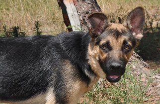 German Shepherd Dog Dog For Adoption in Newport Beach, CA