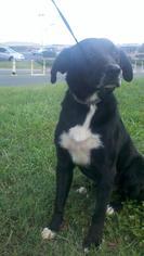 Borador Dog For Adoption in Albemarle, NC, USA
