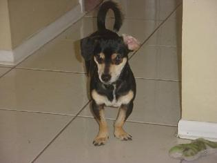 Chiweenie Dog For Adoption in Naples, FL