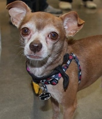 Chihuahua Dog For Adoption in Centreville, VA, USA