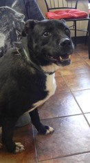 Labrador Retriever Mix Dog For Adoption in Amarillo, TX, USA