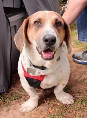 Basset Hound Mix Dog For Adoption in Houston, TX, USA