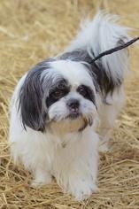 Shih Tzu Mix Dog For Adoption in Alpharetta, GA