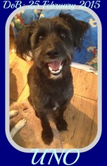 Bordoodle Dogs for adoption in Sebec, ME, USA