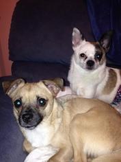 Chiranian Dog For Adoption in Sandown, NH, USA