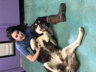 Alaskan Malamute Dog For Adoption in Edmond, OK, USA