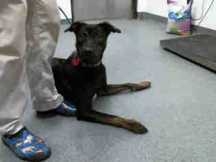 German Shepherd Dog Mix Dog For Adoption in Tulsa, OK, USA