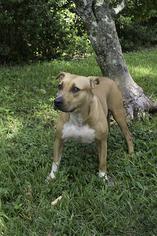 Labrador Retriever-Staffordshire Bull Terrier Mix Dog For Adoption in Weston, FL, USA