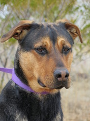 German Shepherd Dog-Rottweiler Mix Dog For Adoption in Las Cruces, NM, USA