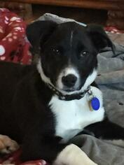 View Ad: Borador Dog for Adoption near Utah, Salt Lake City