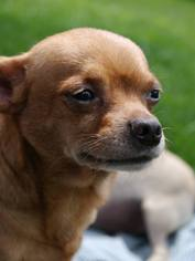 Chihuahua Dog For Adoption in Delaware, OH, USA