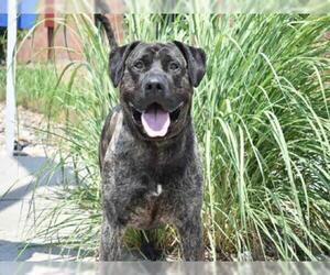 Presa Canario Dogs for adoption in Aurora, CO, USA