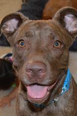 Chinese Shar-Pei Mix Dog For Adoption in Arlington, WA