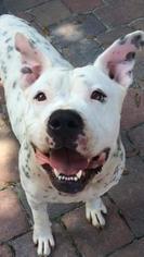 American Bulldog Mix Dog For Adoption in Orlando, FL