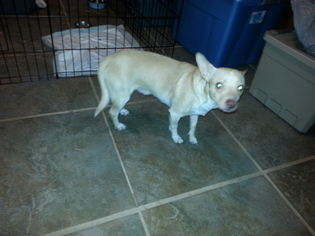 Pembroke Welsh Corgi Mix Dog For Adoption in San Antonio, TX