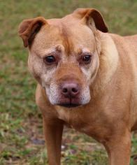American Pit Bull Terrier Dog For Adoption in Asheville, NC, USA