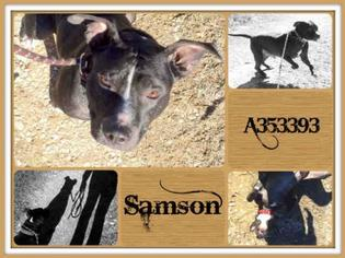 American Pit Bull Terrier Dog For Adoption in San Antonio, TX, USA