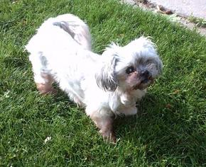 Shih Tzu Dog For Adoption in Colorado Springs, CO, USA