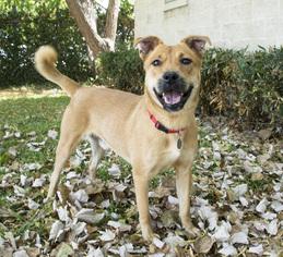 Golden Labrador Dog For Adoption in Houston, TX