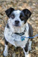 Border Collie Mix Dog For Adoption in Milpitas, CA, USA