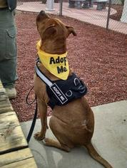 American Pit Bull Terrier-Rhodesian Ridgeback Mix Dog For Adoption in Cordes Lakes, AZ, USA