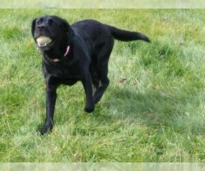 Labrador Retriever Dogs for adoption in Livonia, MI, USA