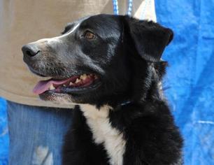 Borador Dog For Adoption in Tunica, MS, USA